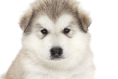 Alaskan malamute puppy Stock Photography