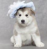 Alaskan malamute puppy Stock Image