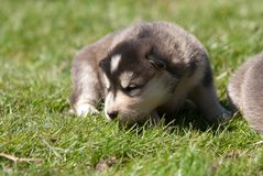 Alaskan malamute puppy 3 Royalty Free Stock Photos