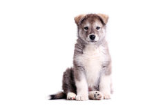 Alaskan malamute puppy against white Royalty Free Stock Image