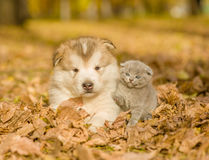 Alaskan malamute puppy and baby kitten in autumn park stock images