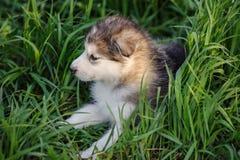Alaskan malamute puppy Stock Photography