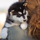 Alaskan malamute puppy. Cute puppy of alaskan malamute dog in  hands of owner Royalty Free Stock Image