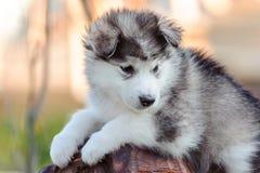 Alaskan malamute puppy Royalty Free Stock Photography
