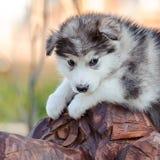 Alaskan malamute puppy Stock Images