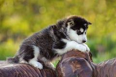 Alaskan malamute puppy Royalty Free Stock Photos