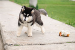 Alaskan malamute puppy. Cute alaskan malamute puppy in a park Stock Photo