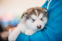 Alaskan Malamute puppy Dog sits in hands of owner Stock Photo
