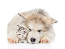 Alaskan malamute puppy embracing tiny kitten. isolated on white Royalty Free Stock Image