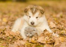 Alaskan malamute puppy hugging cute kitten in autumn park Royalty Free Stock Photos