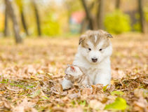 Alaskan malamute puppy hugging cute kitten in autumn park Stock Images