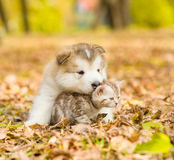 Alaskan malamute puppy hugging cute tabby kitten in autumn park Royalty Free Stock Images