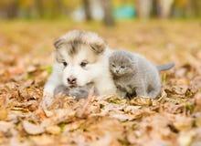 Alaskan malamute puppy hugging two tiny kitten in autumn park Stock Photos