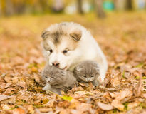 Alaskan malamute puppy hugging two tiny kittens in autumn park Royalty Free Stock Photos