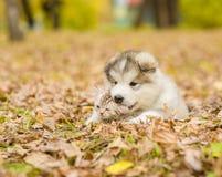 Alaskan malamute puppy licking cute tabby kitten in autumn park Stock Photo