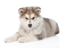 Alaskan malamute puppy lying. isolated on white background Stock Images