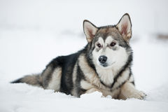 Alaskan Malamute puppy lying on the snow Stock Image