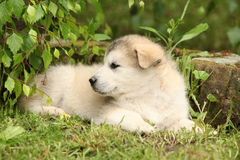 Alaskan Malamute puppy under the twigs of birch Royalty Free Stock Image
