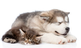 Alaskan malamute puppy and maine coon kitten sleeping together. isolated Royalty Free Stock Photography