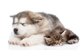 Alaskan malamute puppy and maine coon kitten sleeping together. isolated on white Stock Photos