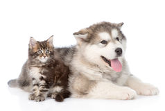 Alaskan malamute puppy with maine coon kitten together. isolated Stock Images
