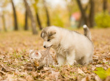 Alaskan malamute puppy playing with a kitten, biting its tail in autumn park Stock Photo