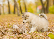 Alaskan malamute puppy playing with a kitten, biting its tail in autumn park Royalty Free Stock Image