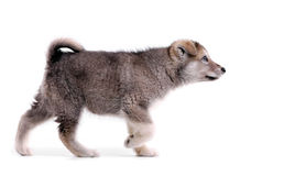 Alaskan malamute puppy in pointing stance. Two-month old alaskan malamute puppy in pointing stance against white background Stock Images