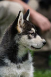 Alaskan malamute puppy portrait Stock Photography