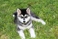 Alaskan malamute puppy. Resting in the yard Royalty Free Stock Images