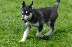 Alaskan Malamute puppy running Stock Images