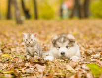 Alaskan malamute puppy and scottish kitten lying together in aut Stock Photography