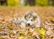 Alaskan malamute puppy and scottish kitten lying together in aut Royalty Free Stock Photo