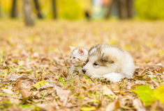 Alaskan malamute puppy and scottish kitten lying together in aut Stock Images