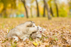 Alaskan malamute puppy and scottish kitten lying together in aut Stock Photos