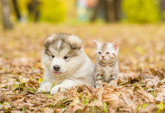 Alaskan malamute puppy and scottish kitten lying together in autumn park stock photos