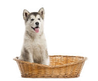 Alaskan Malamute puppy sitting in a basket Royalty Free Stock Photos
