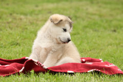 Alaskan Malamute puppy sitting on blanket Royalty Free Stock Photography