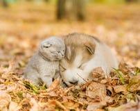 Alaskan malamute puppy sleep with kitten on the autumn foliage in the park Royalty Free Stock Photos