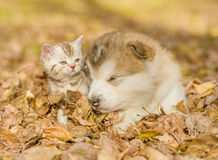 Alaskan malamute puppy sleep with tabby kitte on the autumn foliage in the park. Alaskan malamute puppy sleep with tabby kitten on the autumn foliage in the park Stock Image