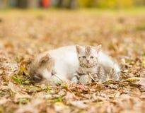 Alaskan malamute puppy sleep with tabby kitten on the autumn fol Stock Photo