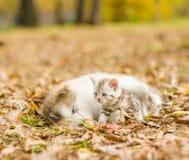 Alaskan malamute puppy sleep with tabby kitten on the autumn fol Royalty Free Stock Photo
