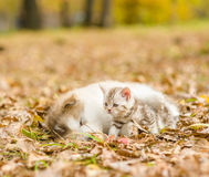 Alaskan malamute puppy sleep with tabby kitten on the autumn fol. Iage in the park Royalty Free Stock Photo