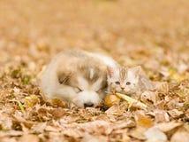 Alaskan malamute puppy sleep with tabby kitten on the autumn  foliage in the park Stock Photography