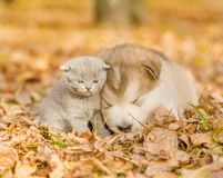 Alaskan malamute puppy sleep with tabby kitten on the autumn  foliage in the park. Alaskan malamute puppy sleep with tabby kitten on the autumn foliage in the Royalty Free Stock Image