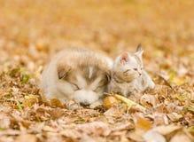 Alaskan malamute puppy sleep with tabby kitten on the autumn  foliage in the park Royalty Free Stock Photo