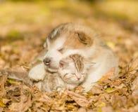 Alaskan malamute puppy sleep with tabby kitten on the autumn foliage in the park.  Stock Photos