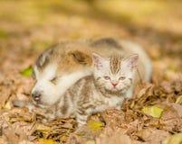 Alaskan malamute puppy sleep with tabby kitten on the autumn foliage in the park.  Stock Image