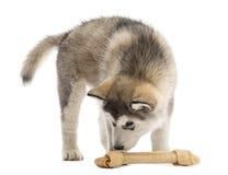 Alaskan Malamute puppy smelling a bone Stock Photo