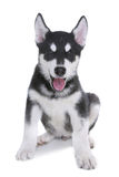 Alaskan Malamute Puppy on White Background in Studio Stock Photography